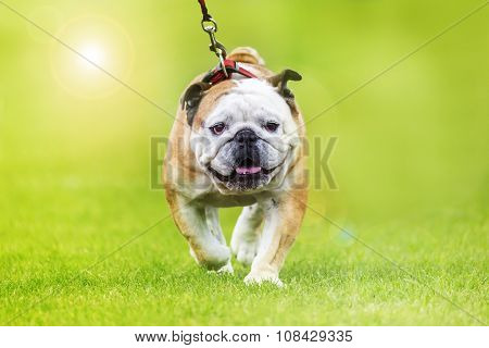 English Bulldog Leash Walking