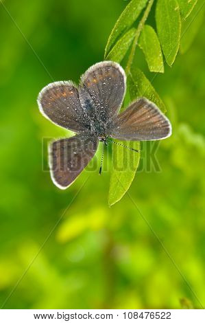 butterfly in natural habitat in spring (plebejus argus)