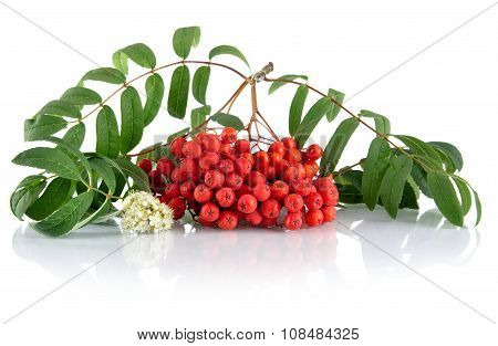Red Ash-berry With Blossom Isolated On White Background