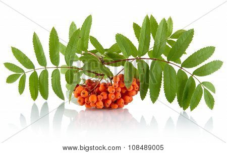 Orange Ash-berry With Leaves Isolated On White Background
