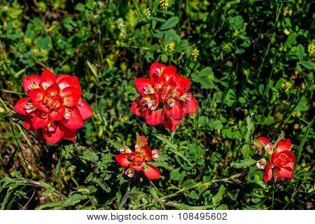 Cluster of Bright Orange Indian Paintbrush (or Prairie Fire) Wildflowers in Texas