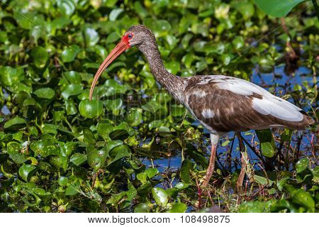 A Wild Long Legged Juvenile American White Ibis in Texas