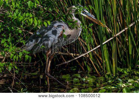 A Great Blue Heron (Ardea herodias) Stalking a Large Bowfin Fish
