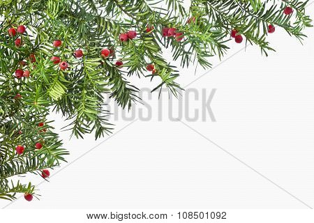 Background from green twigs yew with red ripe fruits.