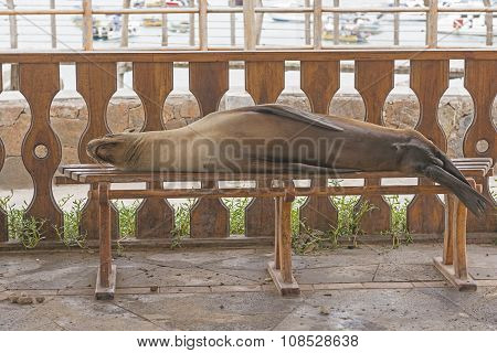 Sea Lion Resting On A Park Bench