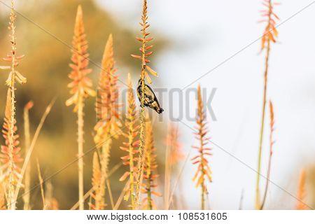 Male Purple sunbirds nectaring from garden flowers