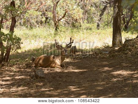 nice Black-tailed deer in velvet, laying in the shade resting in the Sierra Nevada's
