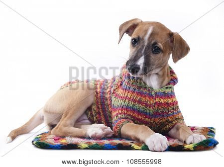 whippet puppy in a sweater knit