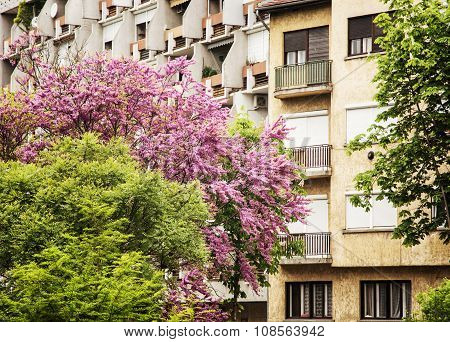 Flowering Trees And Residential Building In Gyor, Hungary