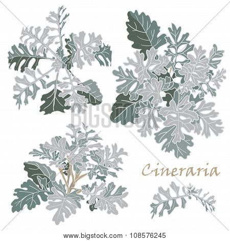 Set Realistic Cineraria Flowers On  White Background
