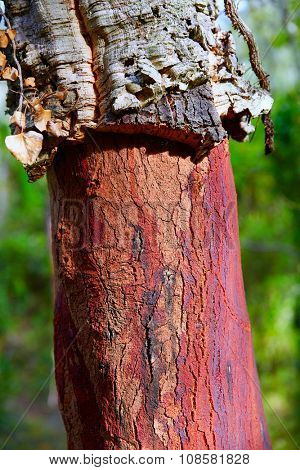 Castellon alcornocal in Sierra Espadan cork tree forest in Valencian Community of Spain poster