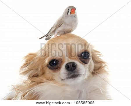Female Zebra Finch On Chihuahua