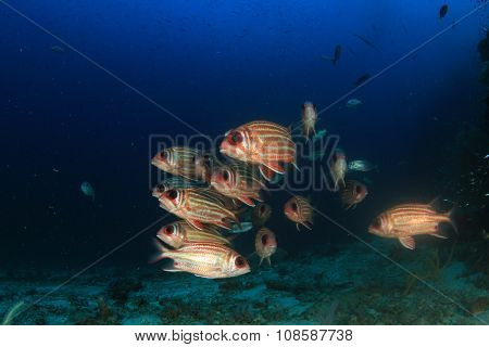 School red fish: Squirrelfish