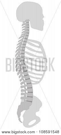 Spine Thorax Skull Pelvic Bone