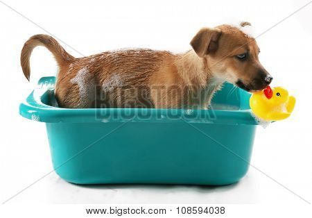 Puppy with toy duck in bath isolated on white