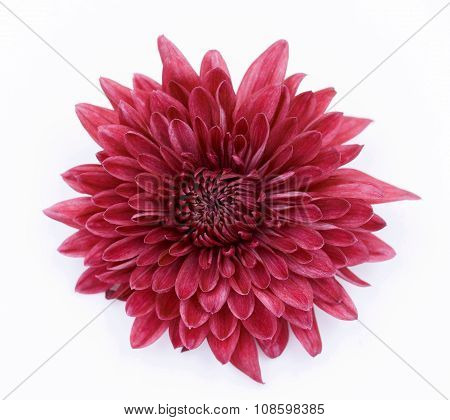 Red Chrysanthemum Flower Isolated Over White Background