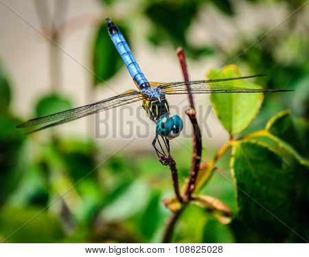 Blue Dragonfly Perched ON A Twig