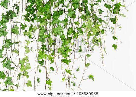 Draping Green English Ivy Background