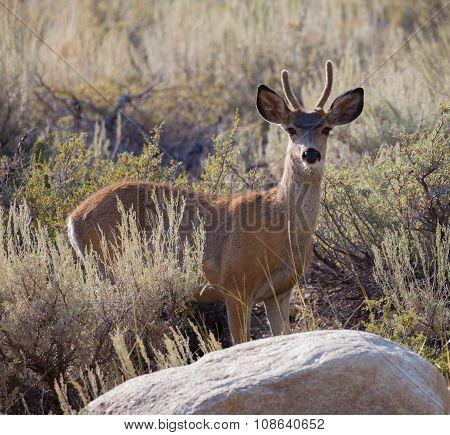 Young Buck Mule Deer
