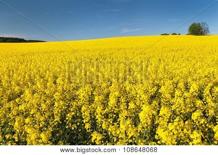 Golden Field Of Flowering Rapeseed With Blue Sky