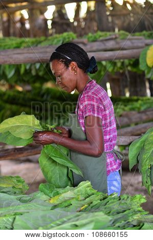 The Woman Touching Tobacco Leaves For Production Of The Cuban Cigars