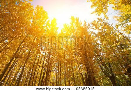 Wide angle fall Aspen Trees with golden sunlight, Leh District in the state of Jammu and Kashmir, India.