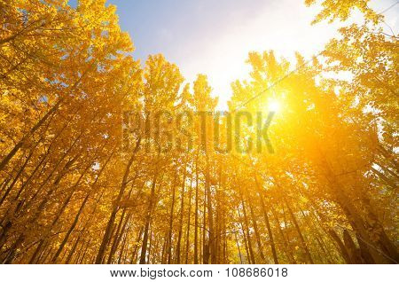 Upward view of Fall Aspen Trees, filtered sunlight , Leh District in the state of Jammu and Kashmir, India.