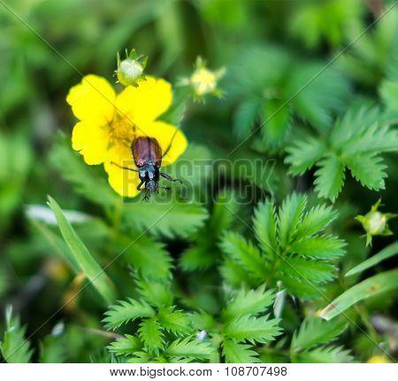 Garden beetle, Phyllopertha horticola
