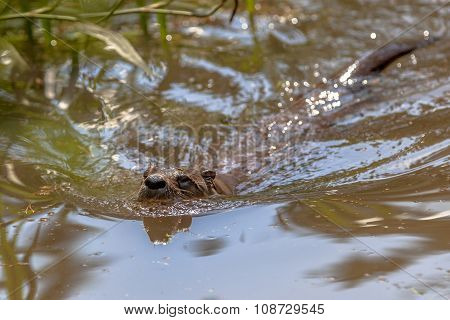 European Otter Swimming In Water