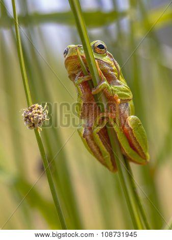 Green European Tree Frog Climbing In Rush