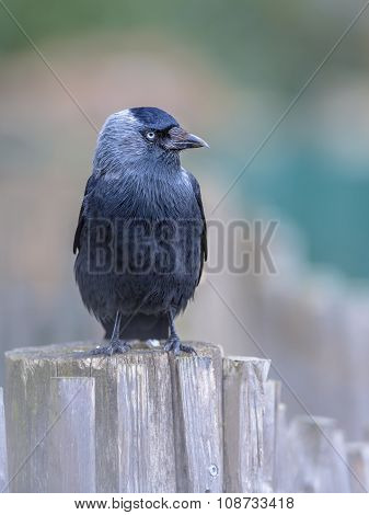 Western Jackdaw Looking