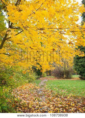 Autumn Maple Foliage