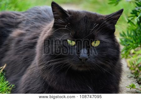 Close up of thick long hair black Chantilly Tiffany cat lying at the garden. Fat tomcat with stunning big green eyes sitting at home poster