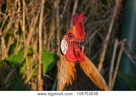 Portrait of Phoenix rooster on the traditional rural barnyard