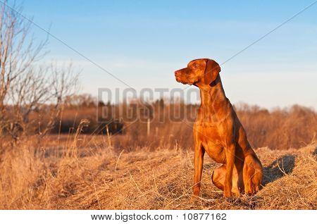 Sitting Vizsla Dog In The Spring