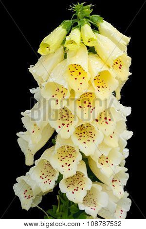 Closeup of wet Yellow Foxglove flower also called Ladyâ??s Glove (Digitalis) on black background