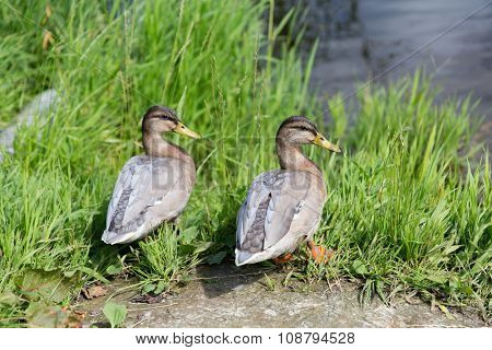 nature, ornithology and birds concept - two ducks on river bank
