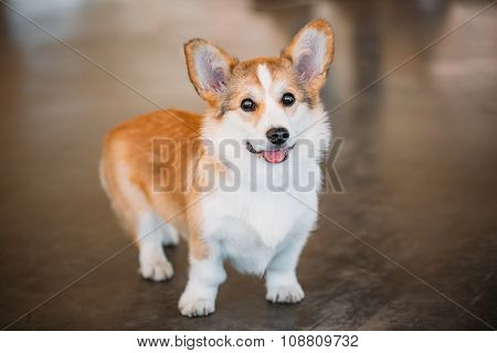 Close up portrait of young Happy Welsh Corgi dog