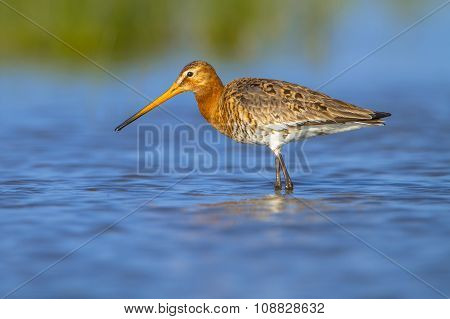 Female Black Tailed Godwit