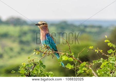 Colorful Bird In The Tarangire Park, Tanzania