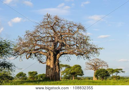 Eagles On Baobab Tree In The Tarangire Park, Tanzania