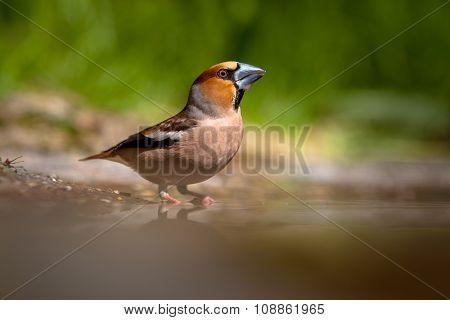 Hawfinch Drinking