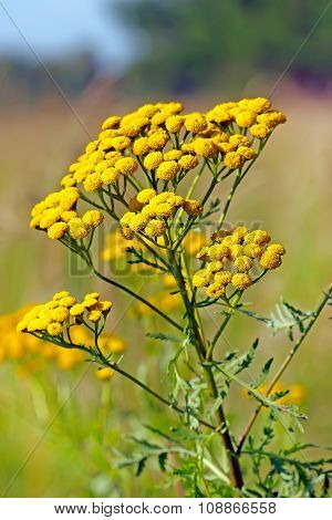 Common tansy (Tanac?tum vulg?re)