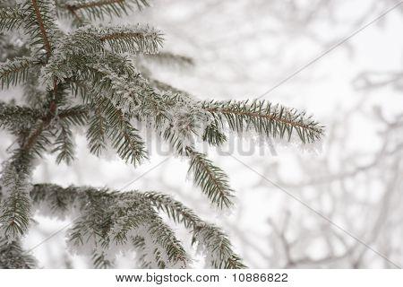 Pine Needles In Winter