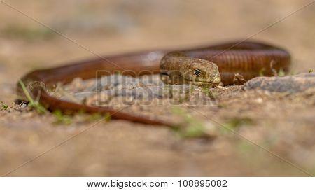 Large Sheltopusik Legless Lizard