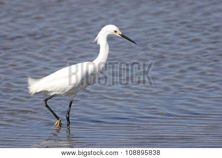 Snowy Egret (egretta Thula) In Water