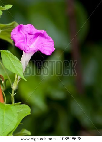 Pink Morning Glory Flower