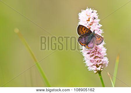 Violet Copper In Germany