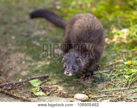 The European Polecat