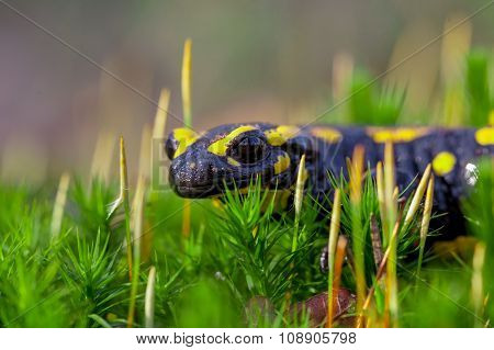 Fire Salamander On Moss Looking In The Camera